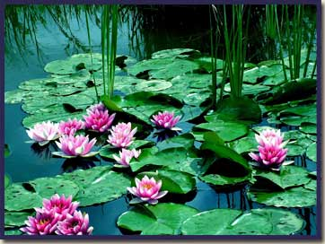 waterlilies_home_03.jpg
